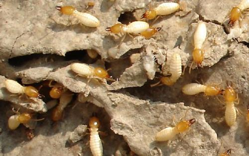 白蚁的危害及防治方法